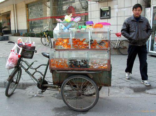 Selling gold fish and baby koi fish